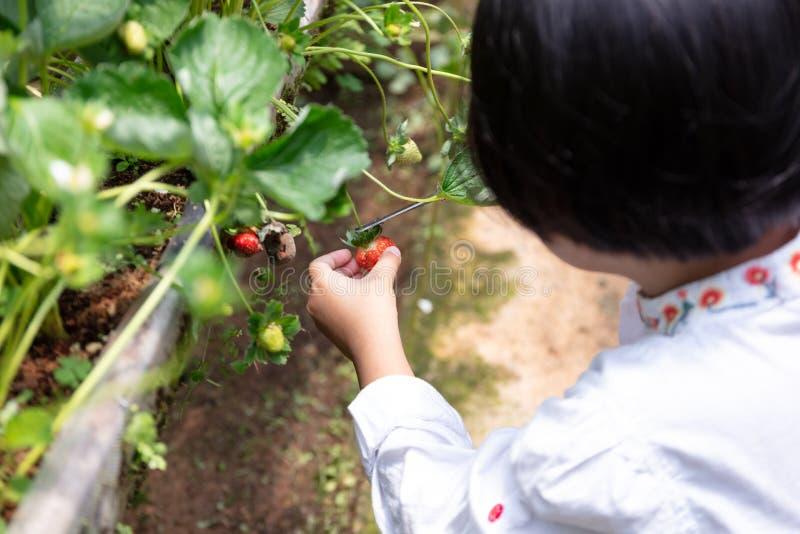 Pequeña muchacha china asiática que escoge la fresa fresca fotografía de archivo libre de regalías