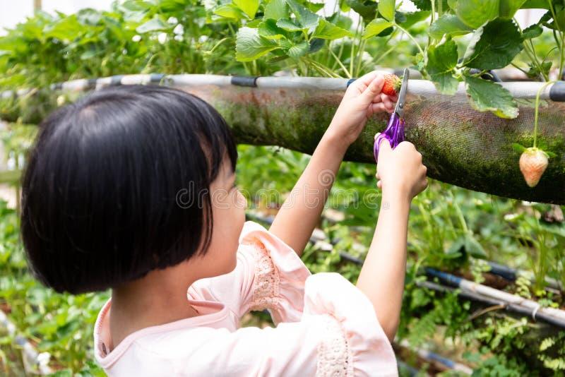 Pequeña muchacha china asiática que escoge la fresa fresca imagenes de archivo