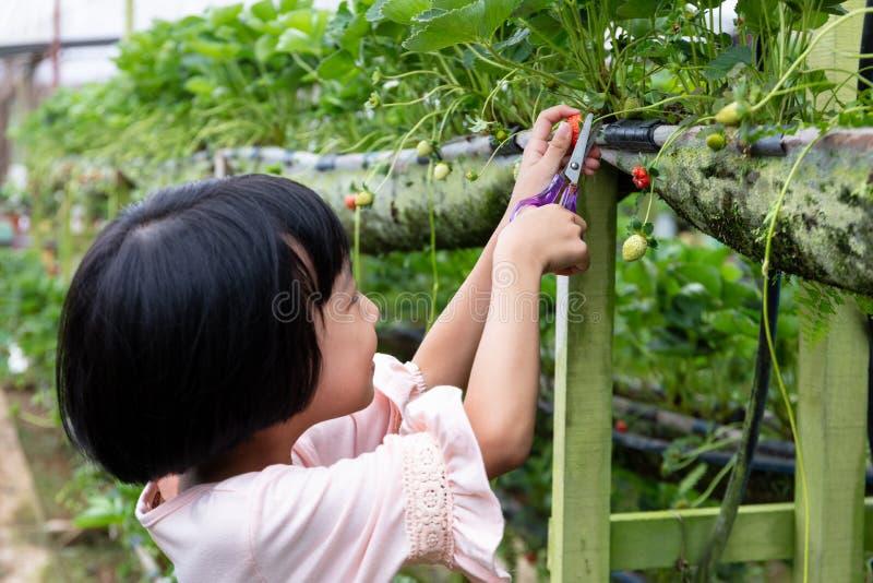 Pequeña muchacha china asiática que escoge la fresa fresca fotos de archivo