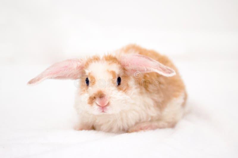 Pequeña naranja linda y conejito blanco del color con los oídos grandes Conejo en el fondo blanco Cierre de la nariz encima de -  foto de archivo libre de regalías