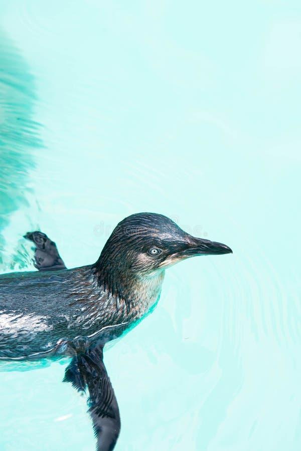 Pequeña natación del pingüino en cautiverio imagen de archivo