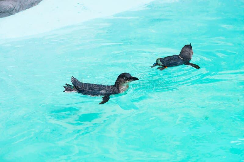 Pequeña natación del pingüino en cautiverio foto de archivo libre de regalías