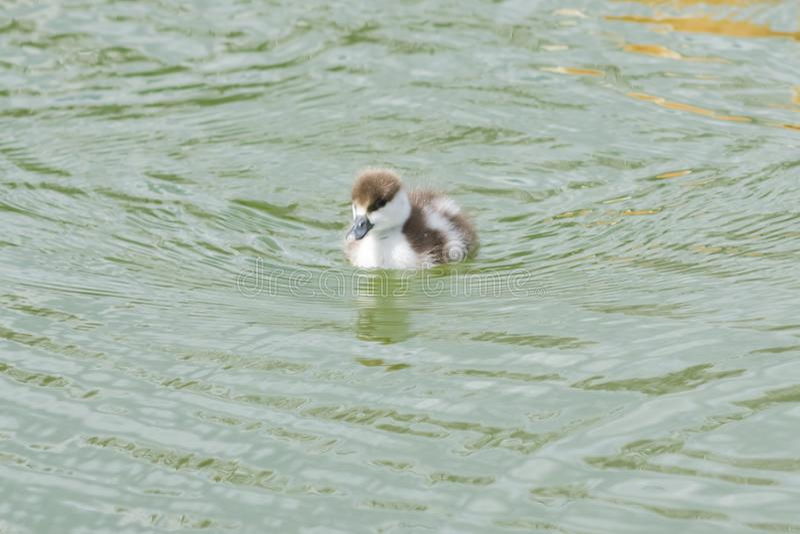 Pequeña natación del retrato del primer del polluelo shelduck o del ferruginea rubicundo del Tadorna en la charca, foco selectivo foto de archivo