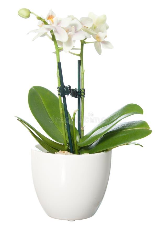 Pequeña orquídea en maceta imagen de archivo