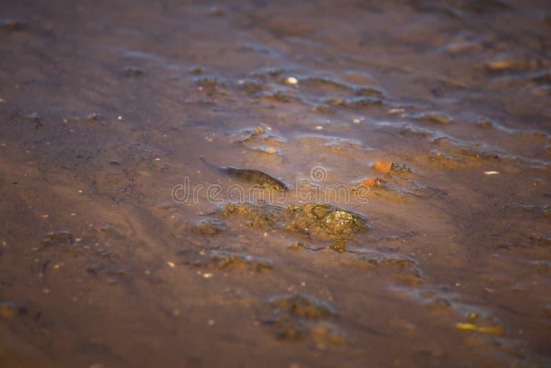 Pequeña perca común que lucha en aguas poco profundas Pequeña natación hermosa de los pescados en el río foto de archivo