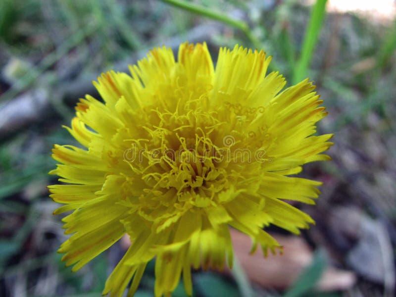 Pequeña planta amarilla del diente de león en el bosque fotografía de archivo libre de regalías
