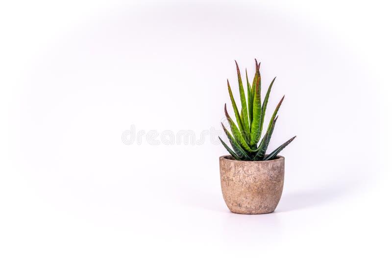 Pequeña planta de desierto en una maceta hecha de la madera fotos de archivo