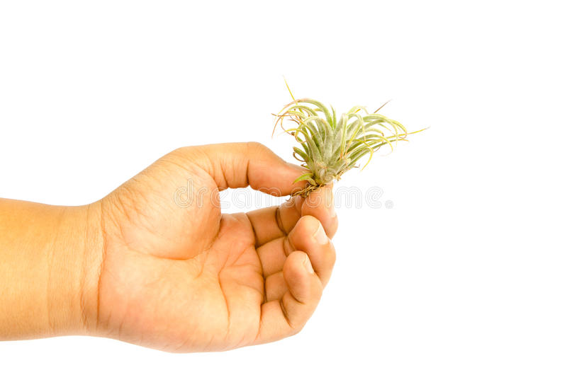 pequeña planta de la bromelia a mano imágenes de archivo libres de regalías