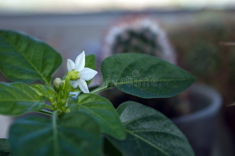 Pequeña planta de la pimienta de chile en travesaño de la ventana imágenes de archivo libres de regalías