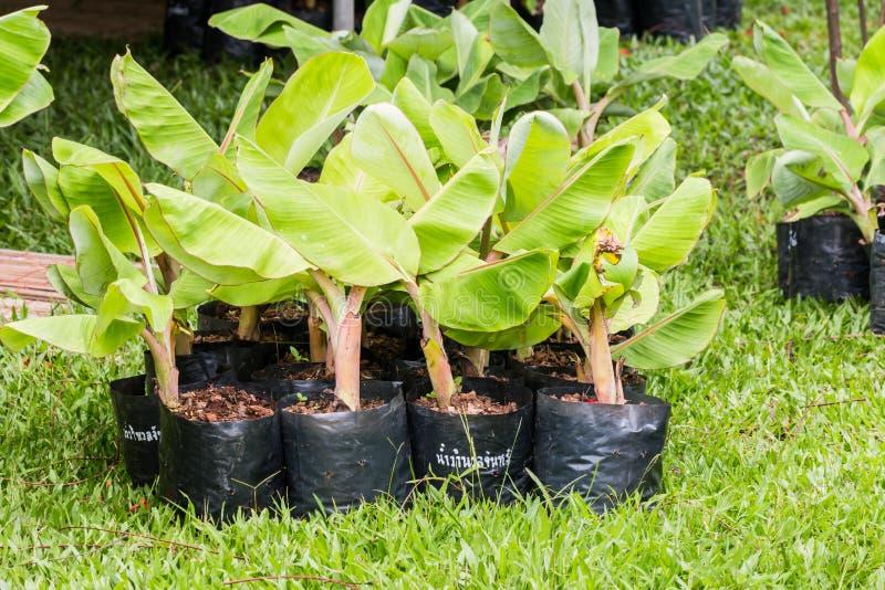 pequeña planta de plátano fotografía de archivo libre de regalías