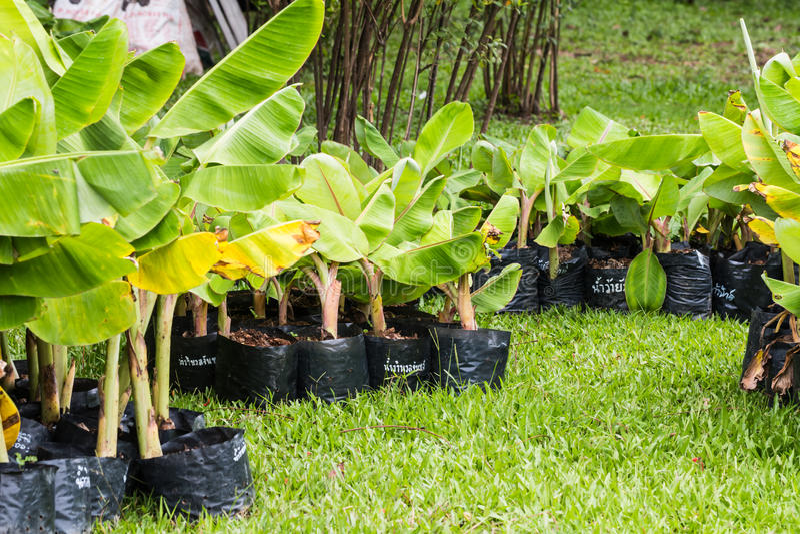 pequeña planta de plátano fotos de archivo libres de regalías