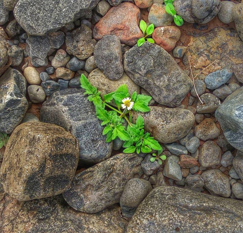 Pequeña planta pequeña en Rocks contando sobre la vida fotos de archivo libres de regalías