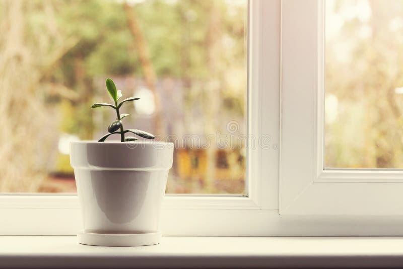 Pequeña planta interior del crassula en pote en travesaño de la ventana fotografía de archivo