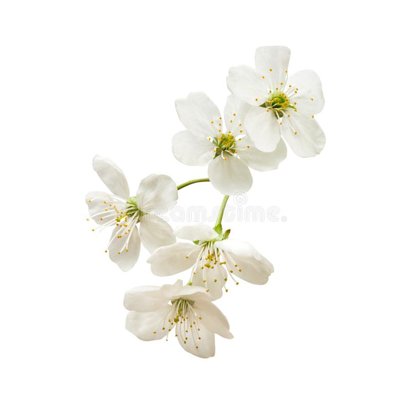 Pequeña ramita con la inflorescencia de una cereza blanca aislada imagenes de archivo