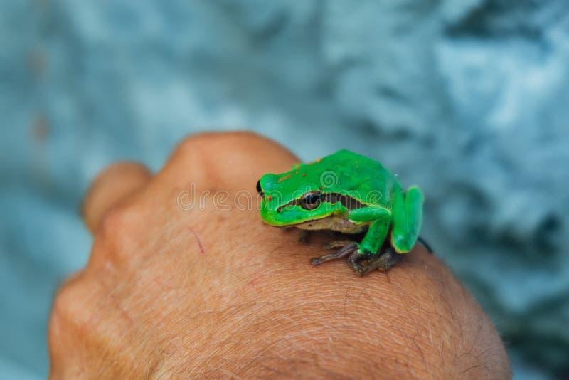 Pequeña rana arbórea verde linda que se sienta en la mano del ` s del hombre fotos de archivo