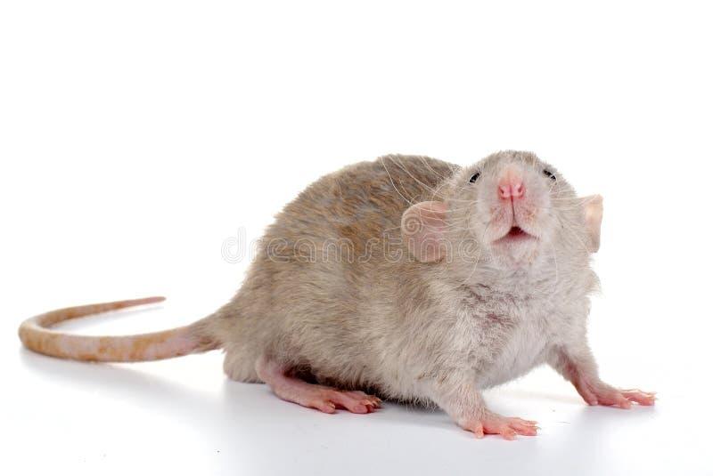 Pequeña rata imagen de archivo libre de regalías