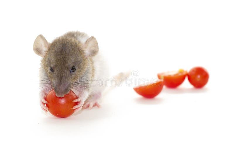 Pequeña rata que come el tomate aislado en blanco imagen de archivo