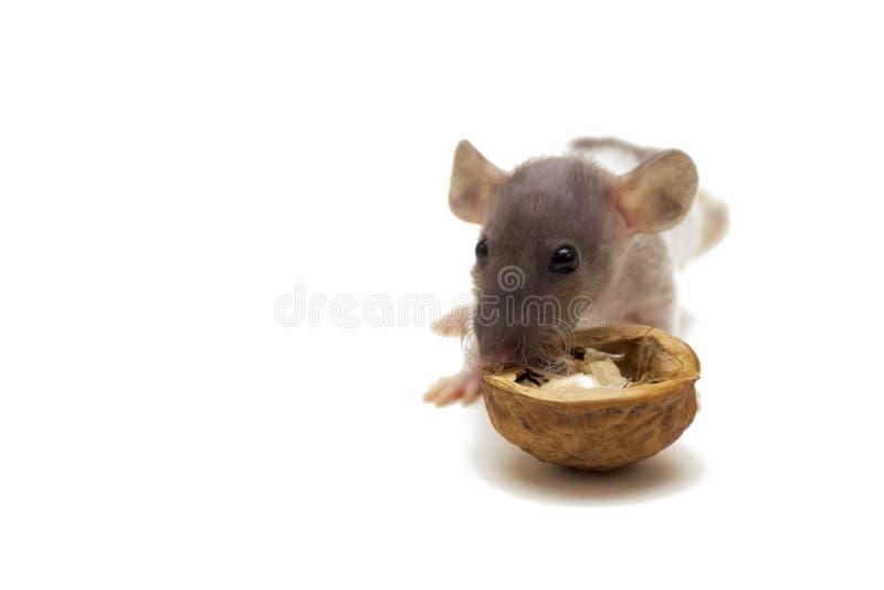 Pequeña rata que come la nuez aislada en el fondo blanco imagen de archivo