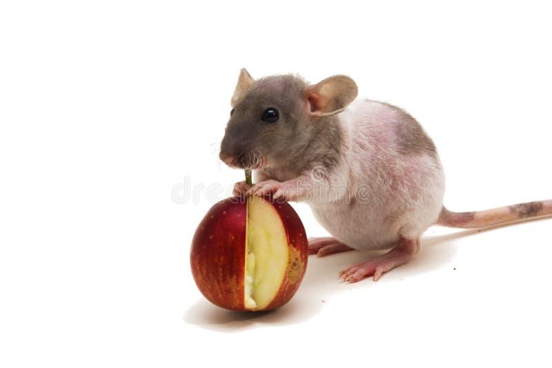 Pequeña rata que come una manzana aislada en el fondo blanco Comentarios de la descripción del comprobador de ortografía para el  fotografía de archivo