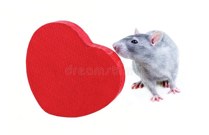 Pequeña rata que estudia la base del símbolo de la decoración festiva del diseño de la tarjeta del día de San Valentín del santo  imagen de archivo libre de regalías