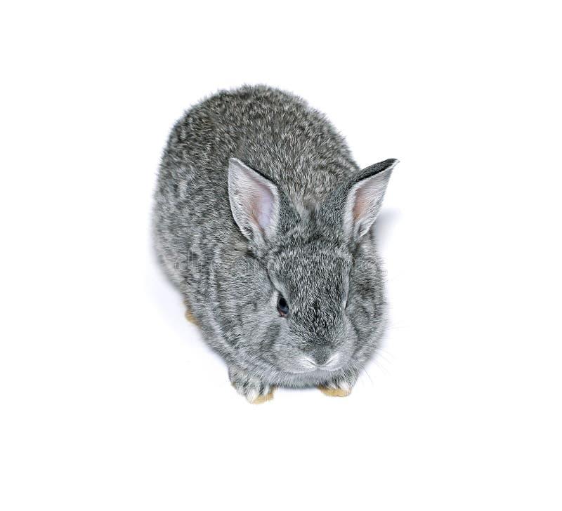 Pequeña raza gris del conejo de la chinchilla gris aislada imagenes de archivo