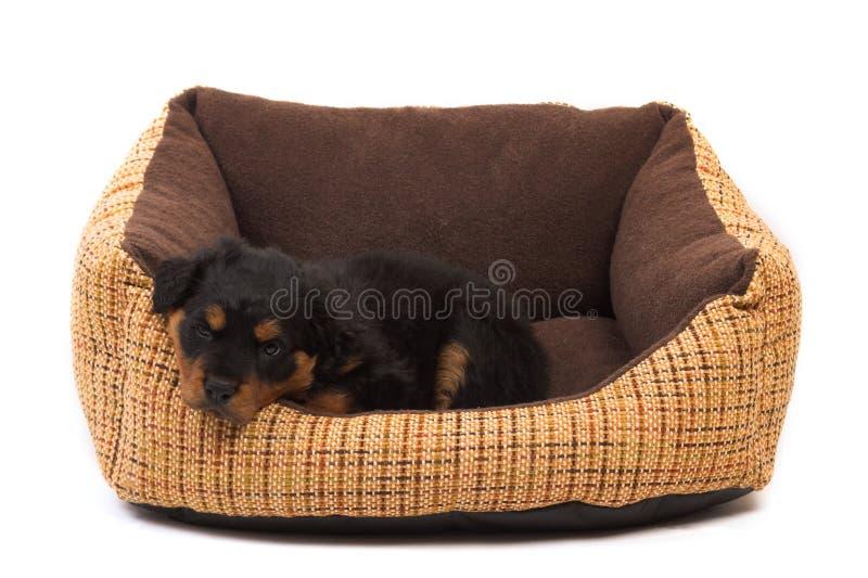 Pequeña reclinación del perrito foto de archivo