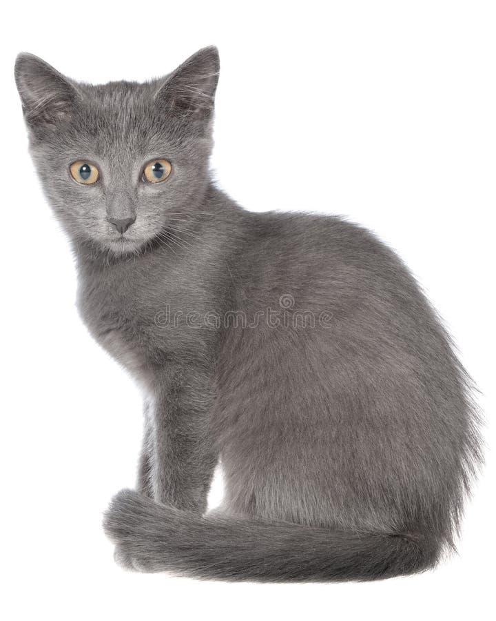 Pequeña sentada gris del gatito del shorthair aislada foto de archivo