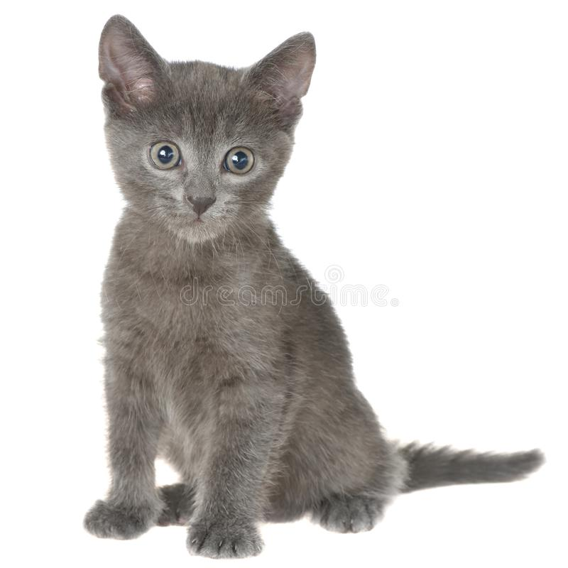 Pequeña sentada gris del gatito del shorthair aislada imagen de archivo