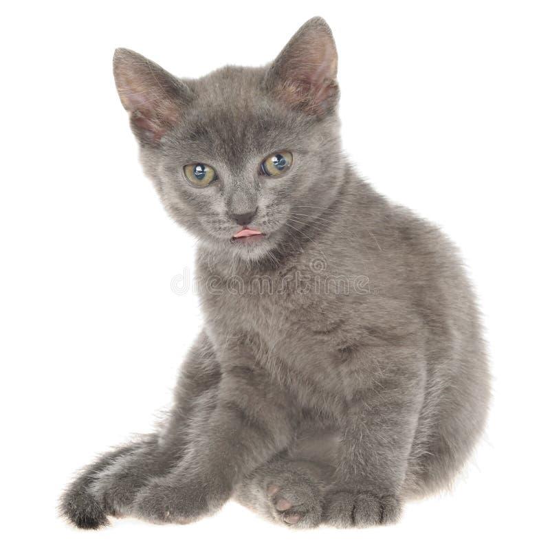 Pequeña sentada gris del gatito del shorthair aislada fotografía de archivo libre de regalías