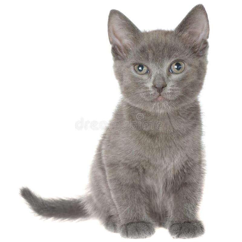 Pequeña sentada gris del gatito del shorthair aislada fotos de archivo libres de regalías