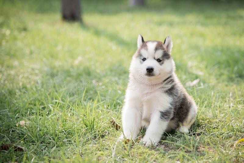 Pequeña sentada linda del perrito del husky siberiano imágenes de archivo libres de regalías