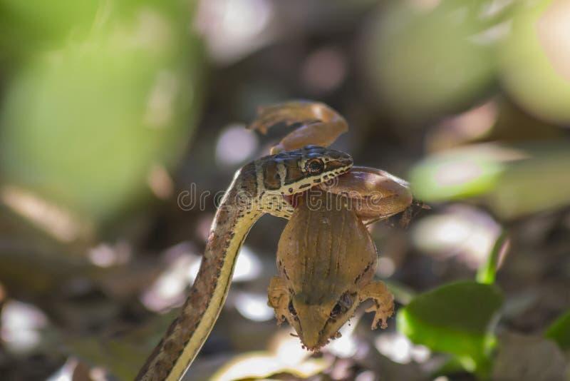 Pequeña serpiente de arena que coge y que come una rana 10 fotos de archivo