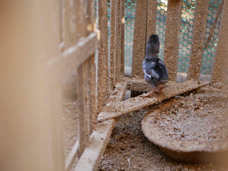Pequeña situación del pollo del bebé en un gallinero de pollo/una casa de madera tradicionales sucios en una zona rural en Asia imagen de archivo libre de regalías