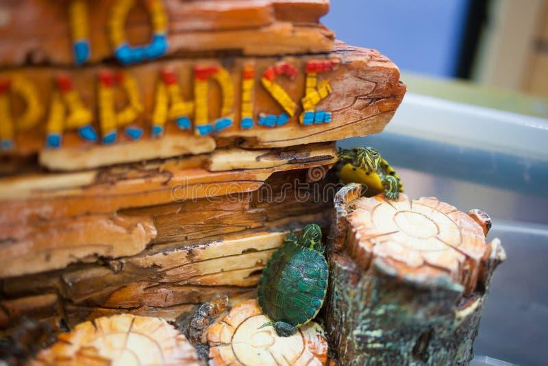 Pequeña tortuga del animal doméstico en cautiverio fotografía de archivo libre de regalías