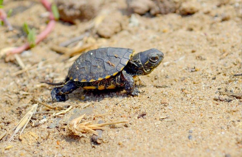 Pequeña tortuga que corre a través de la arena imagen de archivo