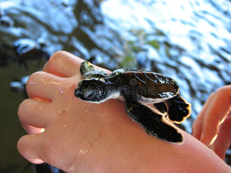 Pequeña tortuga recién nacida en una mano fotos de archivo libres de regalías