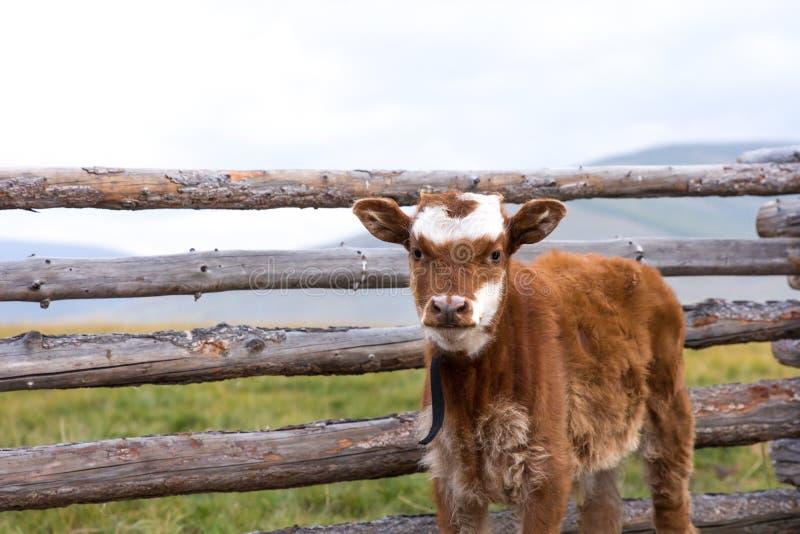 Pequeña vaca del bebé que se coloca delante de una puerta de madera foto de archivo