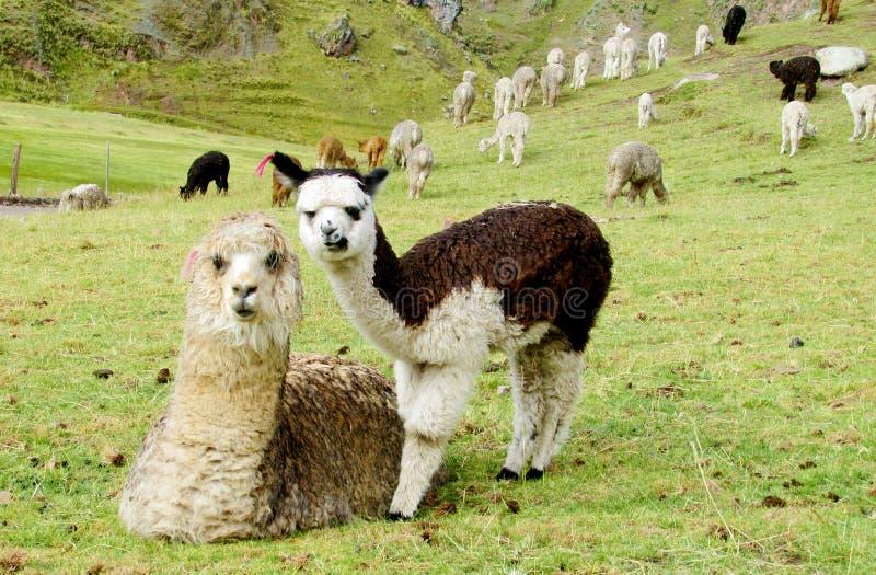 Pequeñas alpaca y madre del bebé en prado verde fotografía de archivo