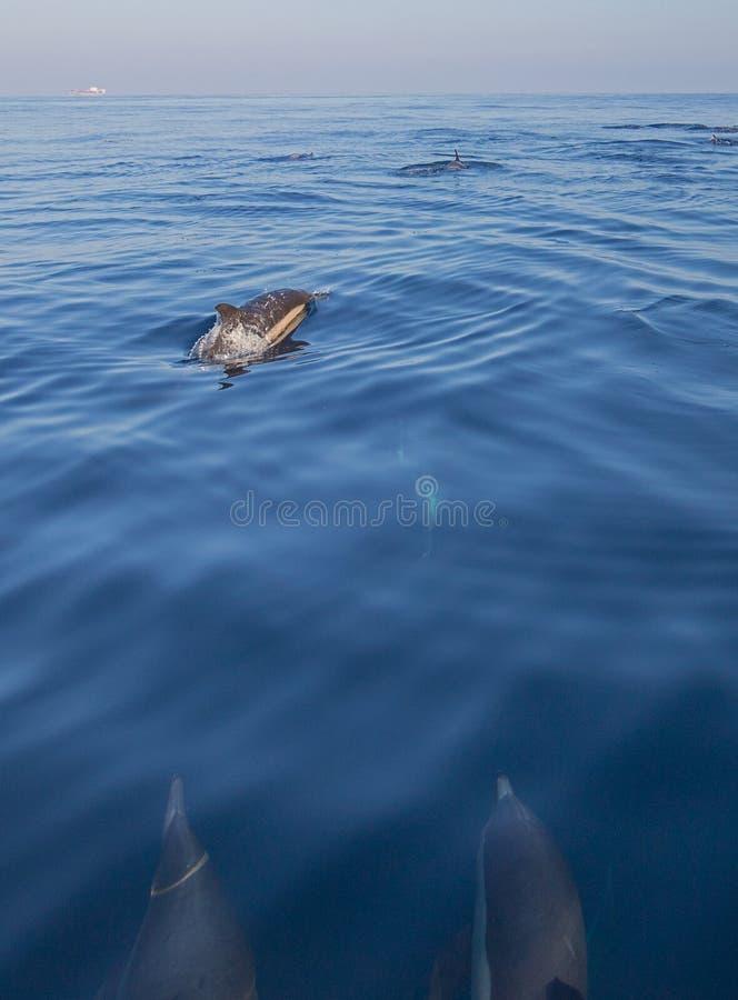 Pequeñas escuela/vaina de los delfínes comunes de la nariz de la botella en el Océano Pacífico entre Santa Barbara y las Islas de imagenes de archivo