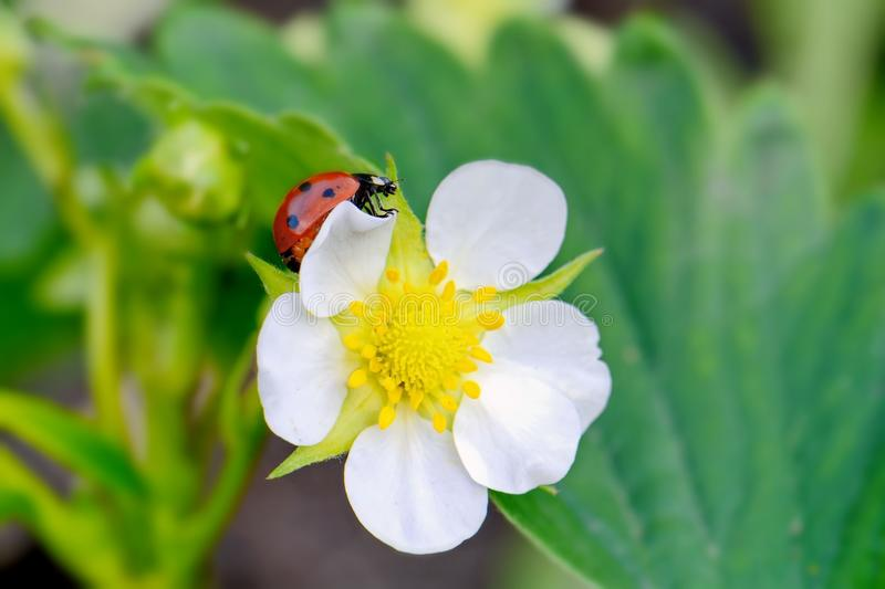 Pequeñas flor y mariquita imagenes de archivo