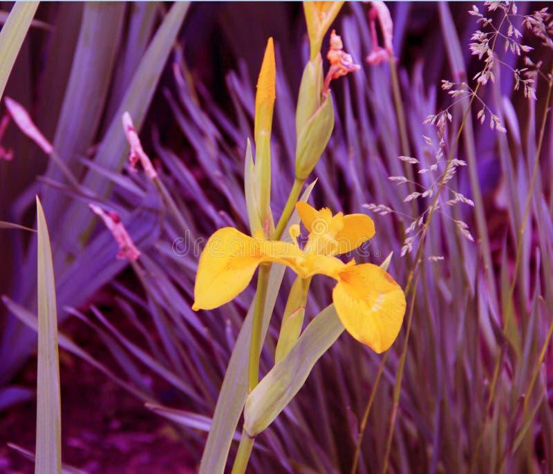 Pequeñas flores amarillas hermosas en la cama de flor fotografía de archivo libre de regalías