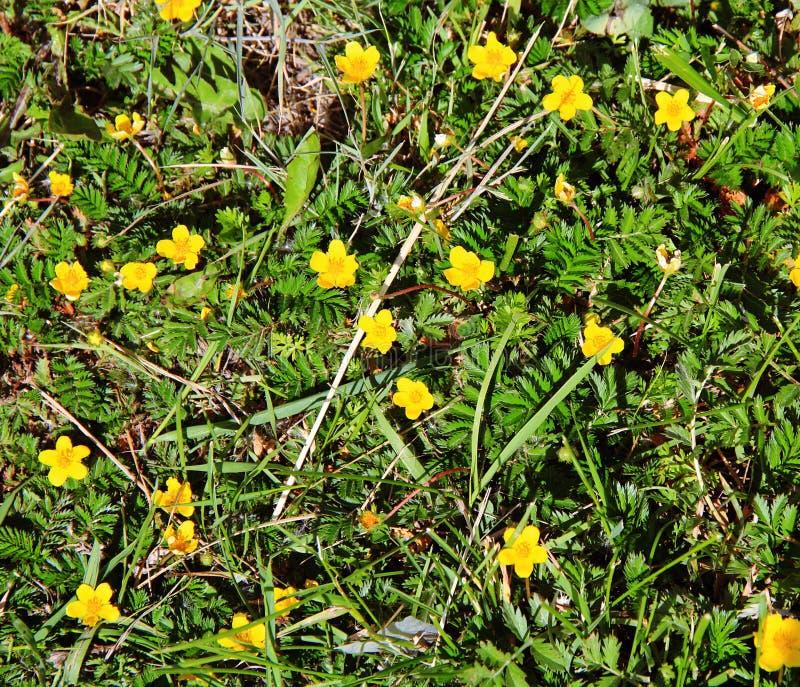 Pequeñas flores amarillas hermosas en la cama de flor fotografía de archivo