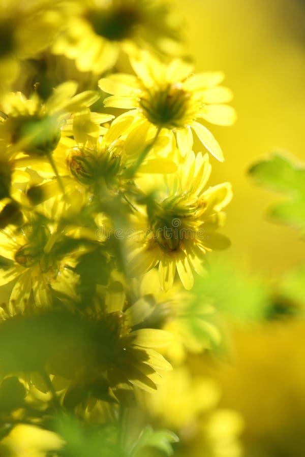 Pequeñas flores amarillas salvajes Dreamlike de la margarita imágenes de archivo libres de regalías