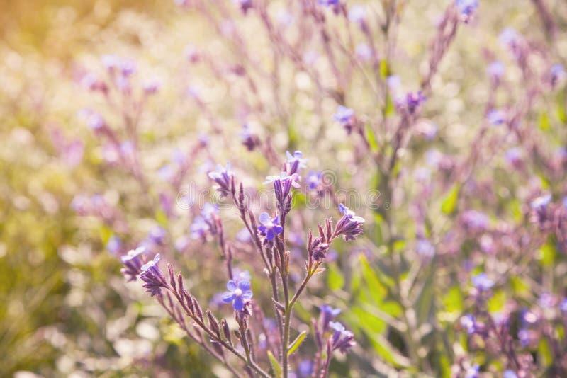Pequeñas flores azules durante la primavera imagen de archivo libre de regalías