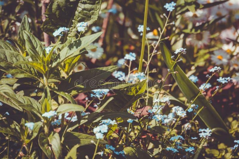 Pequeñas flores azules en la hierba fotografía de archivo libre de regalías