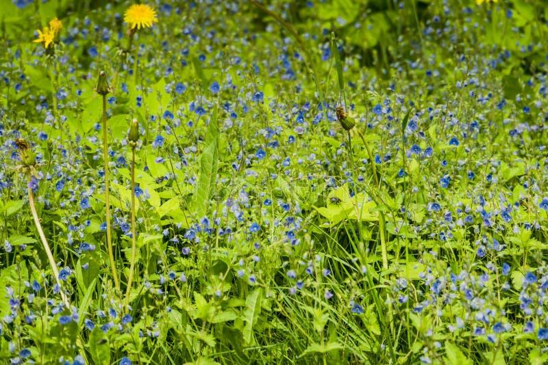 Pequeñas flores azules en la hierba imagen de archivo libre de regalías