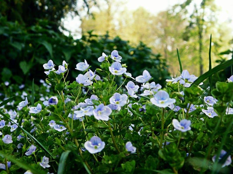 Pequeñas flores azules en un parque imágenes de archivo libres de regalías