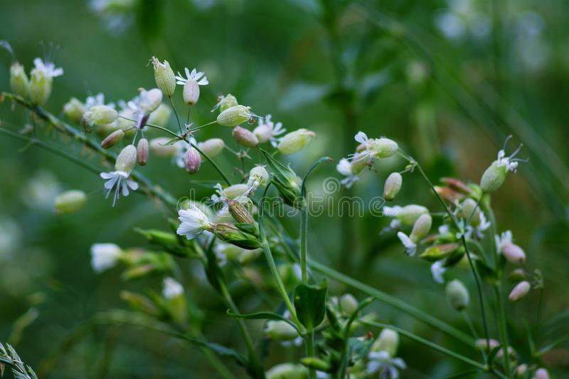 Pequeñas flores blancas con los cubiletes largos, floreciendo en prados en parques foto de archivo