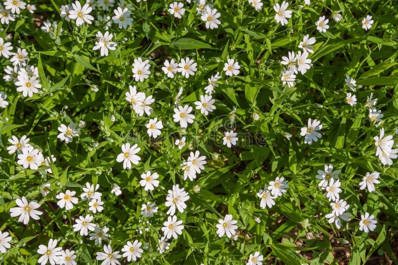 Pequeñas flores blancas en follaje verde imagenes de archivo