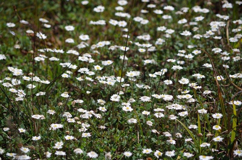 Pequeñas flores blancas en verano imagen de archivo libre de regalías